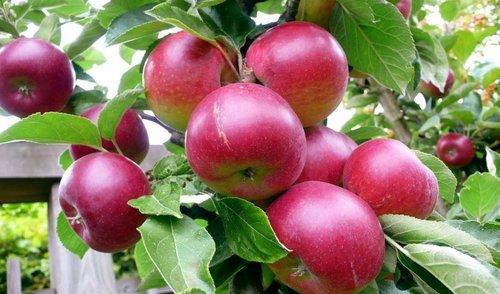 Какие яблони нужны в саду