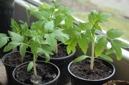 Как высадить рассаду томатов