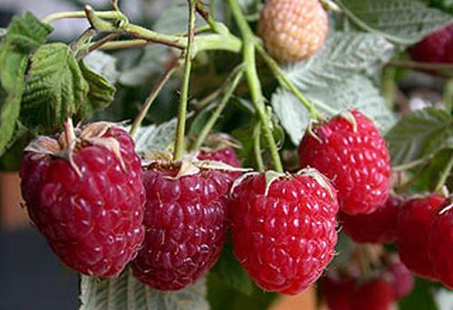 Повышаем урожайность малины