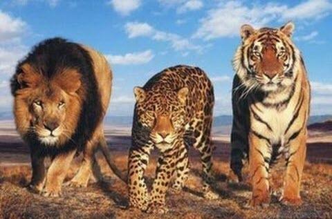 В Германии из зоопарка в компании ягуара сбежали два тигра и два льва