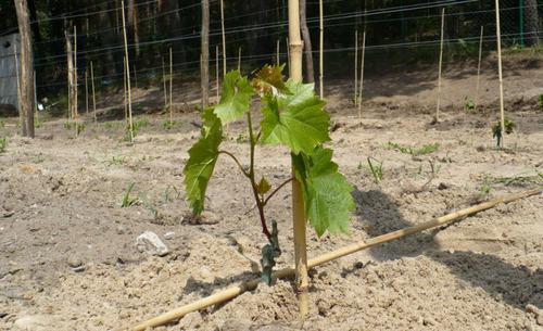 Саженец винограда не растет, что делать