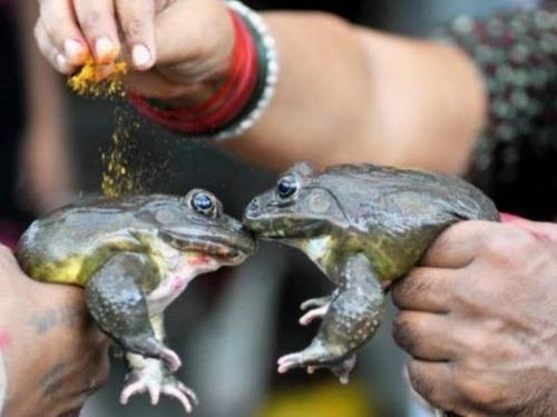 В Индии сыграли свадьбу лягушкам, вызывая дождь