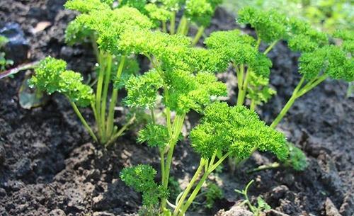 Петрушка - древняя овощная культура