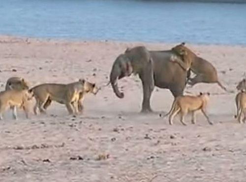 Как слоненок победил 14 голодных львиц (ВИДЕО)