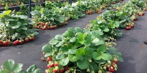 Как правильно посадить клубнику - 4 способа посадки