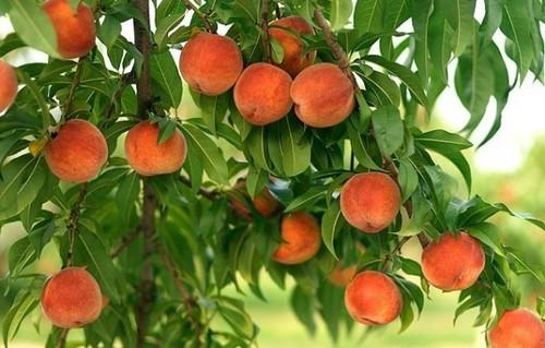 О выращивании персиков