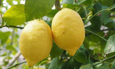 Что нужно знать, чтобы вырастить лимон