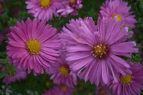 Многолетний цветник из астры