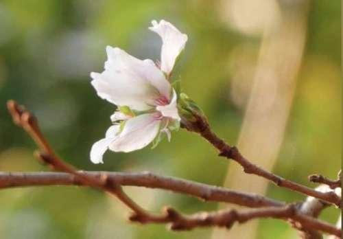 Тайфуны обманули японские вишни