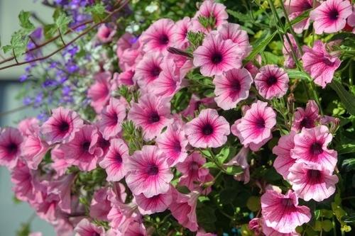 Сохраним петунию до весны