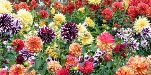 Секреты пышного цветения георгин