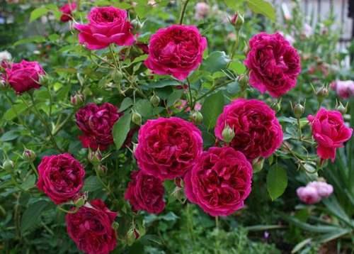 Когда укрывать розы на зиму