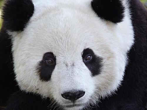 Панда радуется снегу (ВИДЕО)