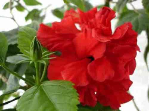 Гибискус – цветок для красавиц