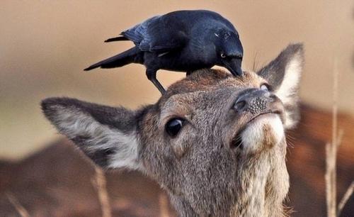 Притча «Косуля и Ворон»