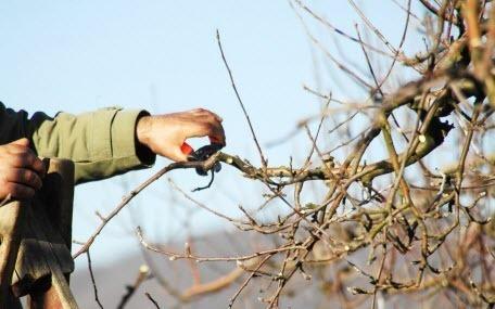 Поддерживающая обрезка яблони