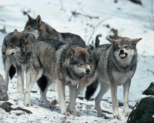 Притча «Стая волков и три лучших товарища»