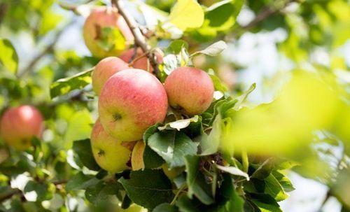 Сорта яблонь, устойчивые к парше