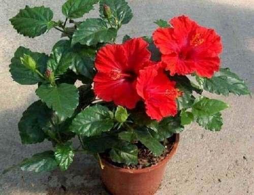 Комнатные цветы, притягивающие счастье и любовь