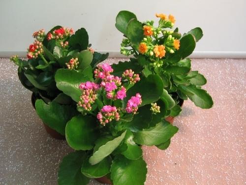 Комнатные цветы с сильной энергетикой: лечебные и магические свойства