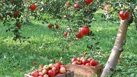 Система питания плодовых культур