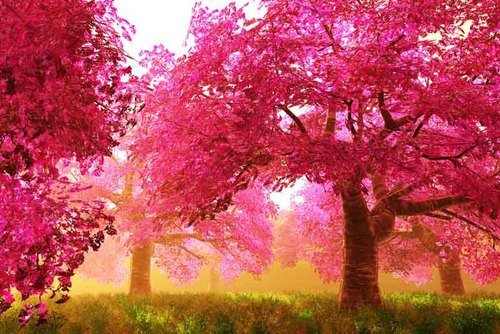 Цветение сакуры – индикатор глобального потепления