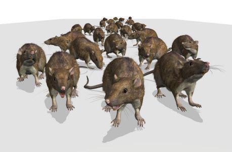 Австралийские города переживают нашествие крыс