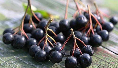 Посадим и вырастим рябину черноплодную