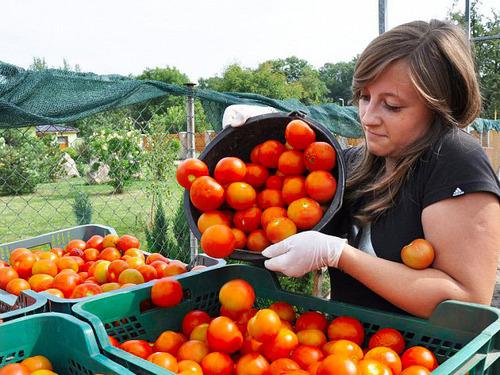 Посадка и выращивание помидоров по методу Маслова