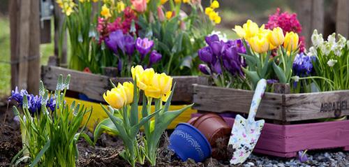 Тюльпаны – выращивание и уход