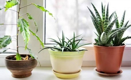 Комнатные растения, предупреждающие об опасности