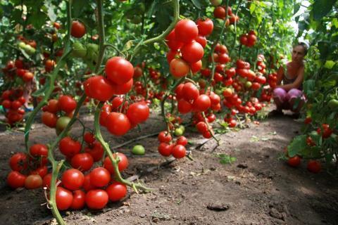 Подкормка помидоров в июне