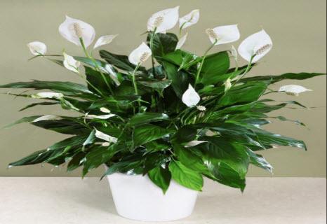 Комнатные цветы, притягивающие любовь и счастье