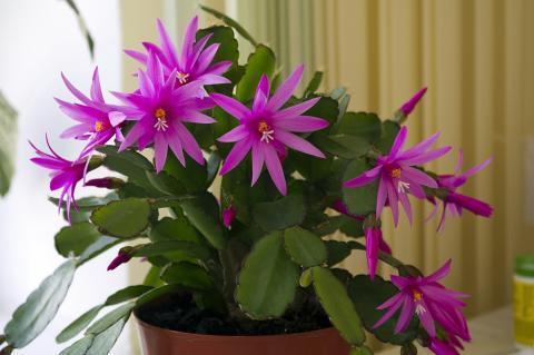 Комнатные цветы, приносящие разлуку и отбирающие счастье