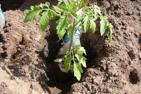 Секретная добавка для богатого урожая помидоров и перца