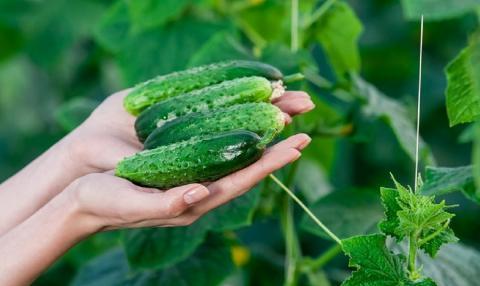 Ранний урожай огурцов: секреты выращивания