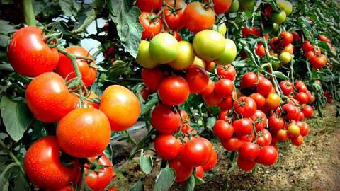 Подкормка для томатов