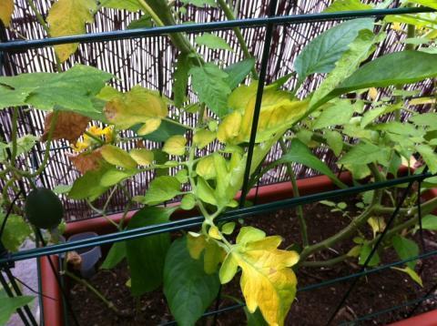 Почему у томатов желтеют листья