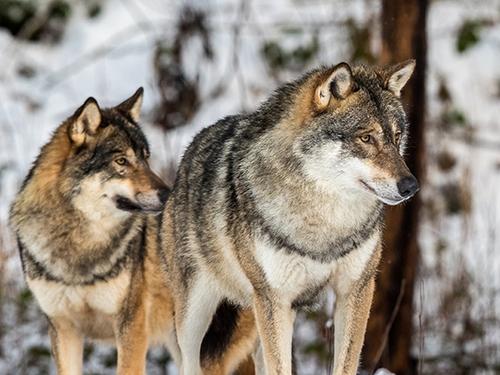"Притча ""Два волка"""
