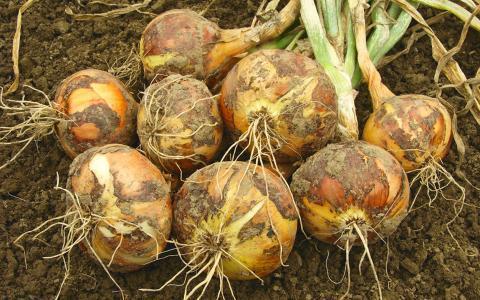 Хитрости выращивания лука