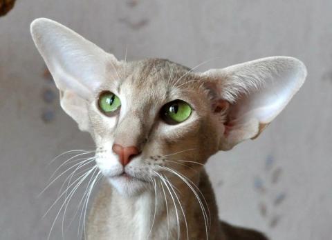 Как кошки влияют на судьбу - правила фен-шуй