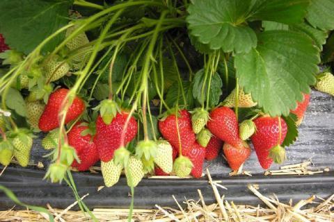 Что нужно сделать сразу после сбора ягод клубники