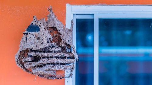 Угроза для человека: осиные крепости-гнезда