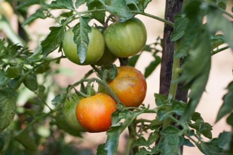 Как в теплице ускорить созревание помидоров