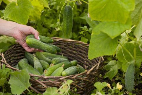 Натуральные подкормки для огурцов в период плодоношения