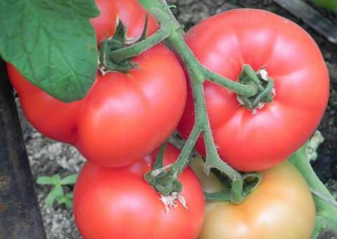 Чем удобрить помидоры, чтобы они быстрее краснели и созревали