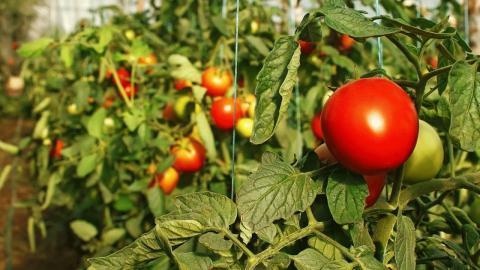 Эффективное удобрение томатов для увеличения урожайности