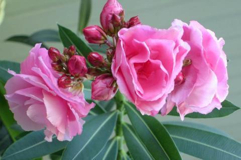 Комнатные цветы, содержащие яд