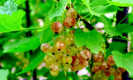 Ягодные кусты: выращивание, полив и уход. Часть 2