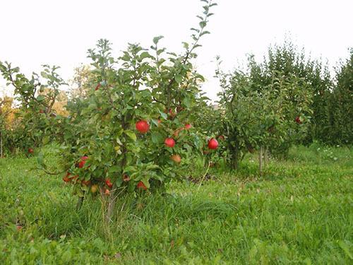 Выращивание карликовых плодовых деревьев